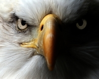 terreurdrones, dronejager, roofvogels tegen drones